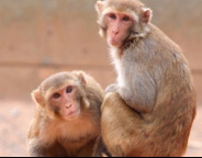 Monkey models of disease
