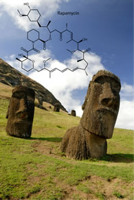 The immunosuppressant drug rapamycin was discovered in soil from Easter Island