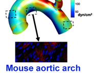 Disturbed blood flow in mouse aortic arch