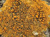 Orange Lichens